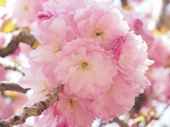 """日本の風流を飲む。""""桜湯(さくらゆ)""""って知っていますか? で紹介している画像"""